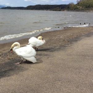 秋鹿なぎさ公園 白鳥 鳥