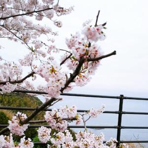 桜 松江 チェリーロード 名所