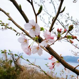 チェリーロード 桜 花見 名所