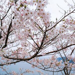 チェリーロード 松江 桜 花見 名所