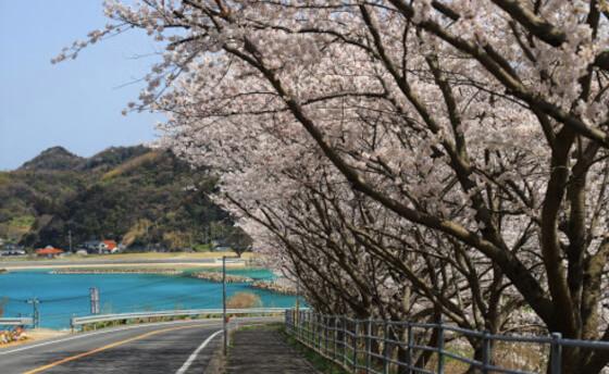 チェリーロード 松江 桜 名所