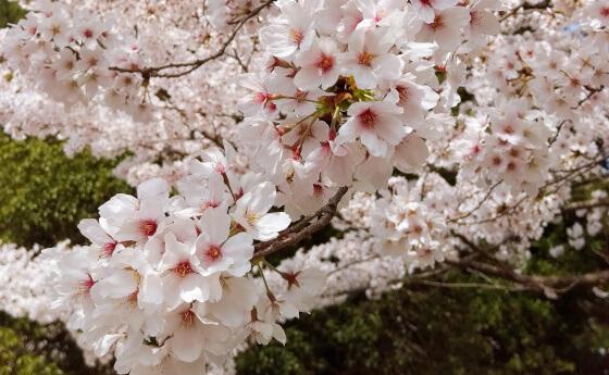 松江城 桜 名所 花見 お城まつり