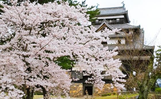桜 松江城 花見 お城まつり