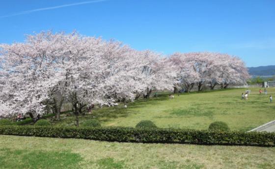 大塚山 松江 花見 桜 名所