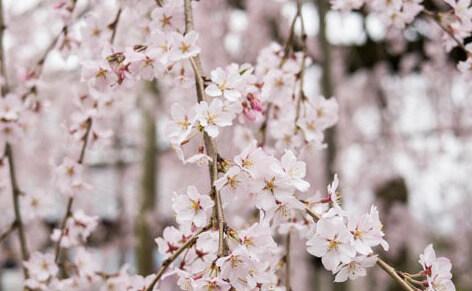 千手院 松江 桜 花見 名所 枝垂れ桜