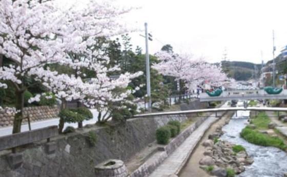 玉湯川 玉造温泉 桜